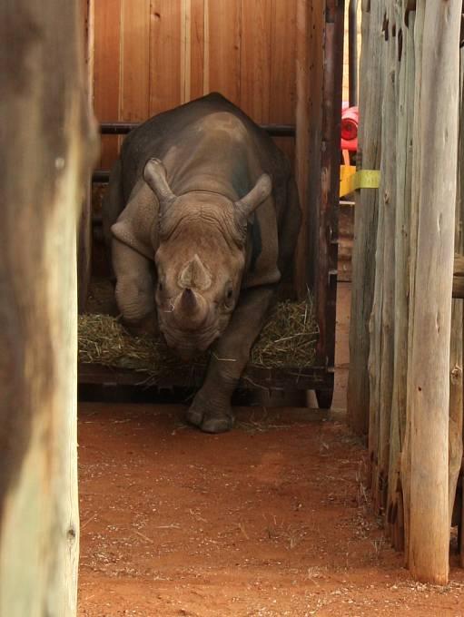 Ke skupině černých  nosorožců dovezených do Tanzanie v roce 2009 se letos připojila samička Eliška. Stala se tak osmým nosorožcem, kterého Zoo Dvůr Králové vrátila zpět do Afriky, aby podpořila tamní populaci těchto kriticky ohrožených zvířat.
