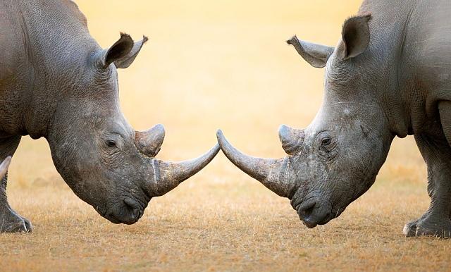 Bílí nosorožci vjižní Africe už také mají na kahánku