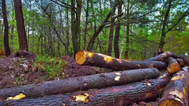 Za krádež dřeva hrozily v minulosti vysoké tresty.