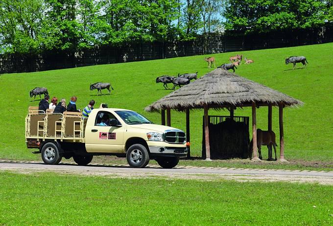 Dvorská zoo nabízí jedinečné projížďky po Africkém safari mezi stády antilop, zeber a pakoňů. Do safari mohou návštěvníci vyrazit ve speciálních zoo vozidlech nebo ve vlastním autě.