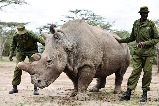 Bílí nosorožci zDvora Králového jsou vkeňské rezervaci Ol Pejeta pod ochranou ozbrojených hlídek.