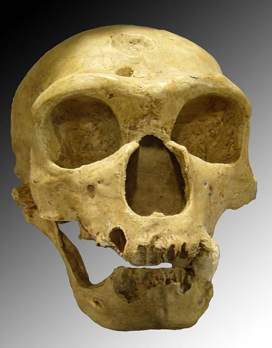 Lebka neandertálce má proti lebce moderního člověka výrazné nadočnicové oblouky a nízké čelo