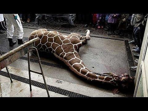 Zoo vKodani vyvolala utracením a zkrmením žirafího samečka Maria bouři nevole.