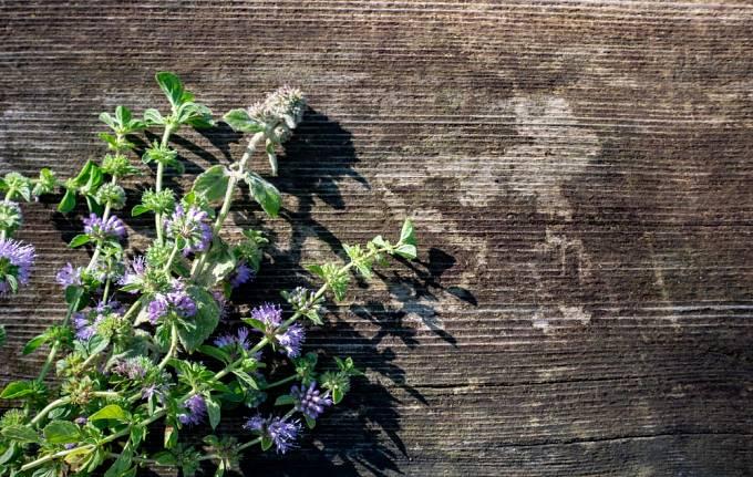 Odvar z poleje obecné může skutečně vyvolat děložní stahy, rostlina je ale jedovatá.