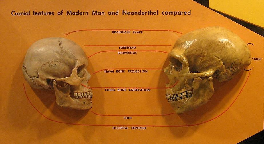 Srovnání lebky moderního člověka (vlevo) s lebkou neandrtálce
