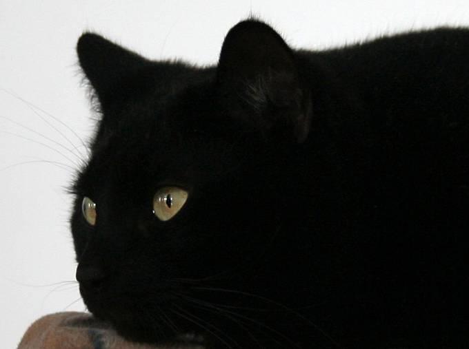 Černá kočka, jeden ze symbolů smůly. Co tedy dělat, přeběhne-li člověku přes cestu?