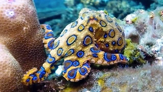 Na jed chobotnice kroužkované neexistuje protijed.