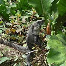 Na leguány narazíte prakticky všude, vyhřívají se ve volné přírodě i na mayských pyramidách.