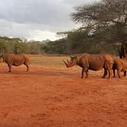 Samice Deborah, která byla do rezervace Mkomazi v Tanzanii převezena v roce 2009 ze Zoo Dvůr Králové, se svými dvěma mláďaty Hillou (vlevo, 2011) a Tunu (vpravo, 2014). Otcem obou mláďat je Jamie, který pochází rovněž ze Zoo Dvůr Králové.
