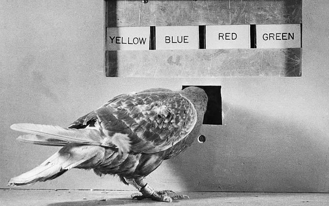 V průběhu první světové se holubi prokázali být zdatnými poštovními kurýry