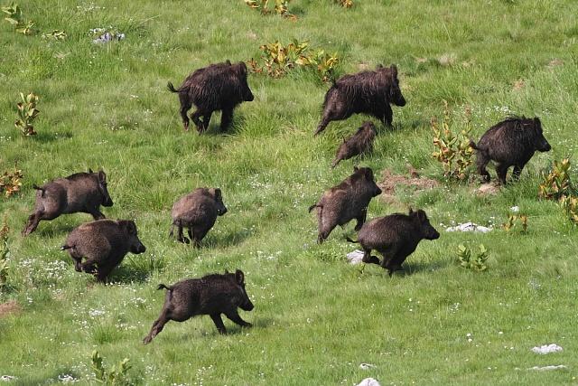 Černá zvěř, jež se dříve prakticky nelovila, dnes představuje velký problém ipro některé obce.