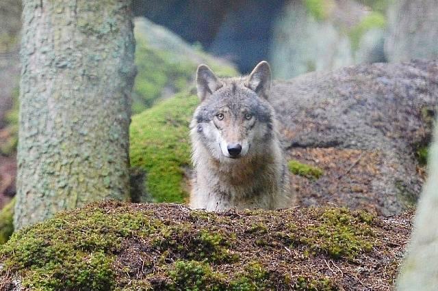 Vlk obecný, mládě