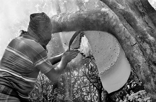 Sběrači medu musí často zcela zahaleni balancovat ve výškách, na křehkých větvích stromů.