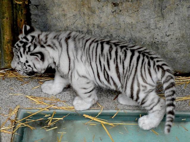 Liberecká zoo úspěšně chová vzácné bílé tygry.
