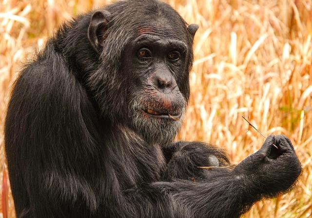 Monogamie mohla být tím zásadním rozdílem, který nás odlišil od opic.