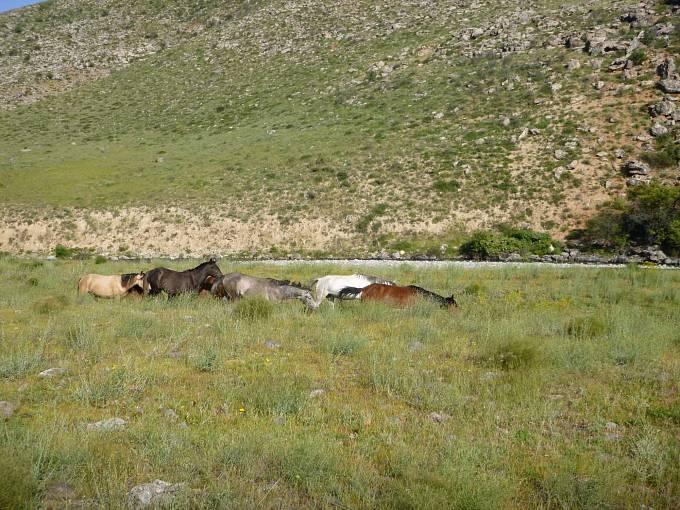V kazašských stepích se volně prohánějí stáda koní