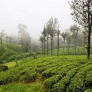 Péče o čajové plantáže je těžká a špatně placená.