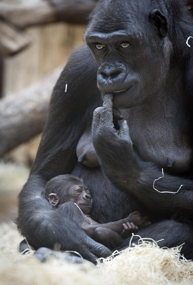 Vpražské zoo se daří gorilám.