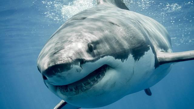 Ani velký bílý žralok se člověku neubrání