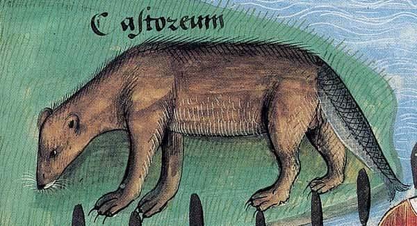 Ocas bobra připomínal ocas rybí, a tak se směl konzumovat i v postní dny.