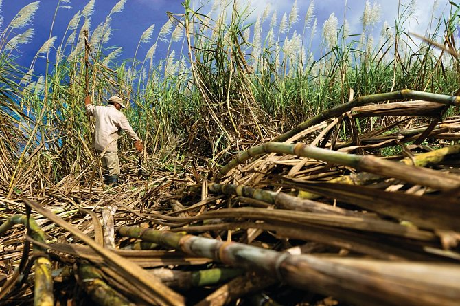 Plantáže cukrové třtiny