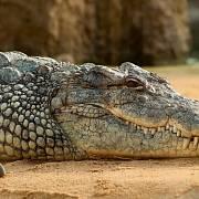 Krokodýl způsobil v letadle paniku. - Ilustrační foto