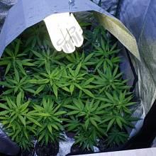 Pěstování marihuany se stává stále větším byznysem