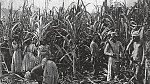 Cukrová třtina se pěstovala i sklízelapomocí otroků.