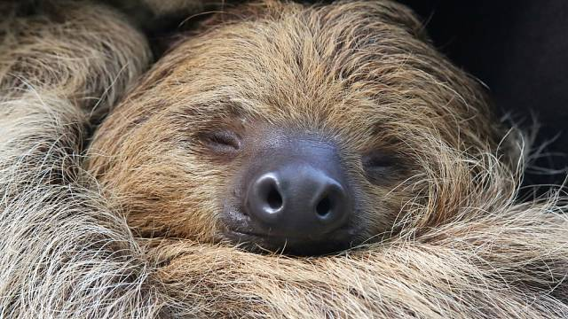Navzdory pověstem jsou lenochodi poměrně čilá zvířata – spí jen asi 10 hodin denně.