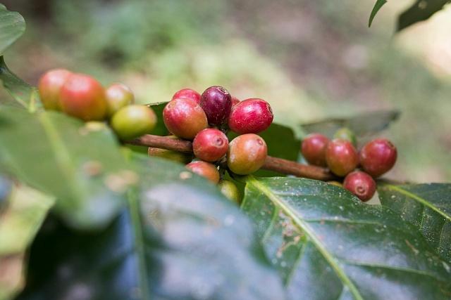 Kávové třešně pomalu dozrávající na větvičkách kávovníků