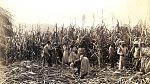 Otroci při sklizni cukrové třtiny.