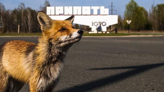 Do opuštěných měst vyrážejí lišky.