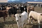 Operace Vegetarian cílila na hladový dobytek