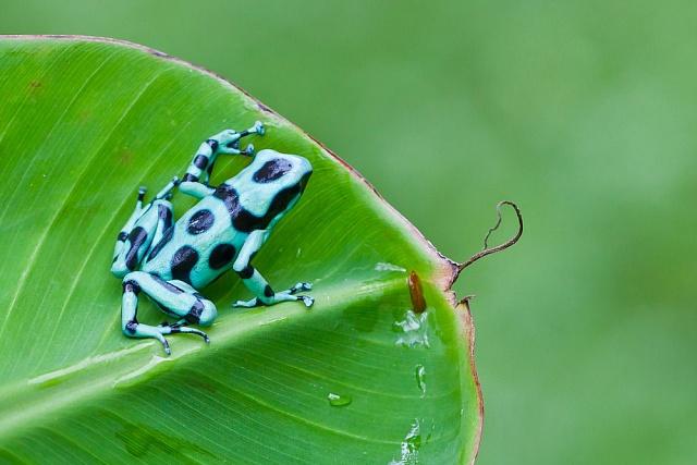 Ničení pralesů likviduje iobojživelníky, jako tuto drobnou žabku, zjejíhož jedu domorodci vyráběli jed na šipky do svých smrtících foukaček