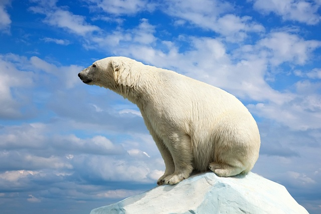 Lední medvěd je ohrožen táním arktických ledovců
