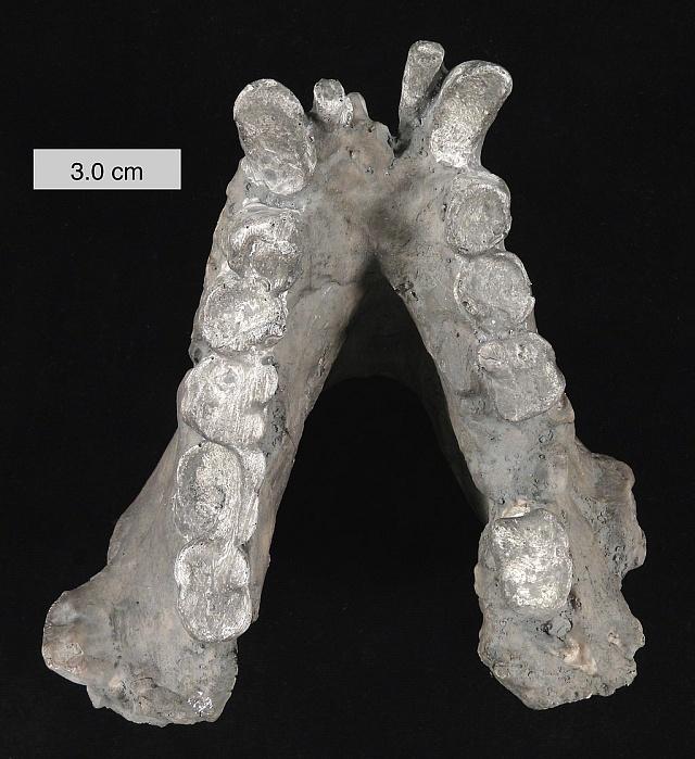 čelist Gigantopitheca blacki