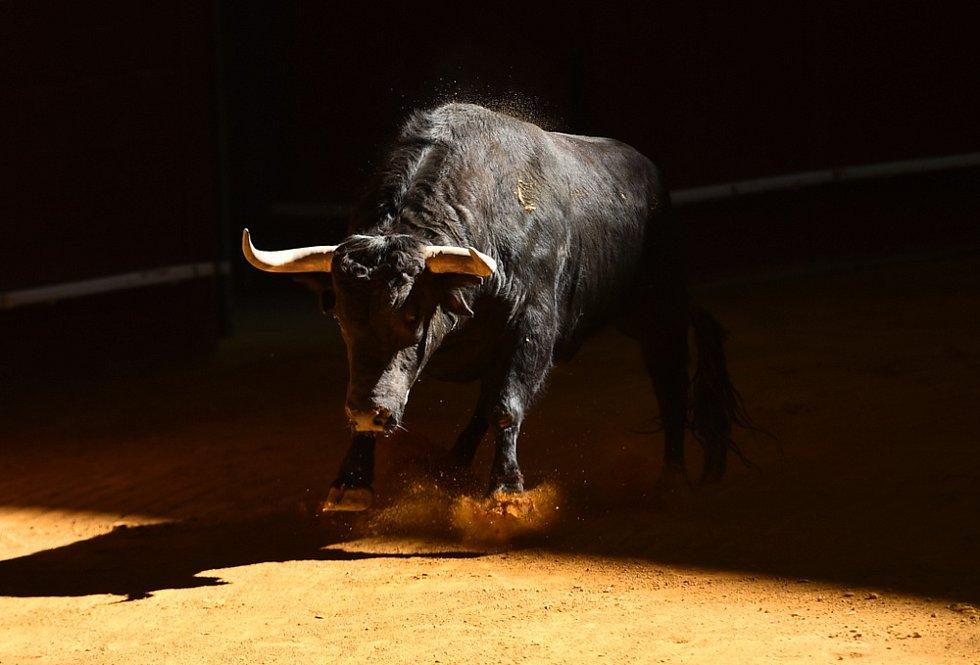 Býk ve španělské koridě.