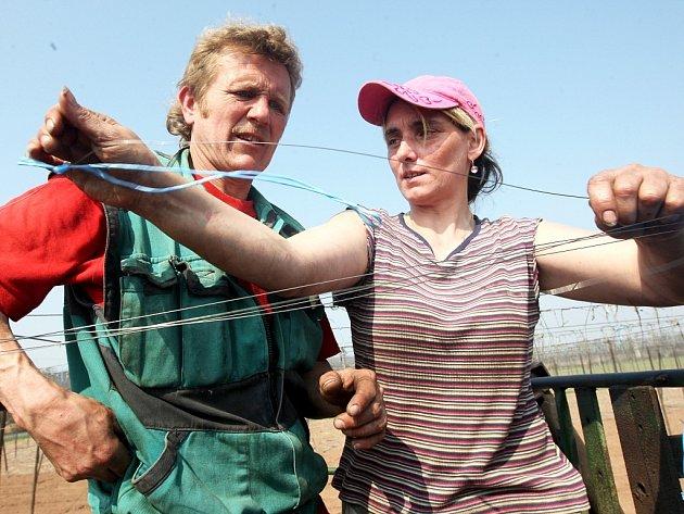 Jan Hlavsa a Dana Ďuriková zavěšují drátky pro chmelové révy nedaleko Trnovan na Žatecku.