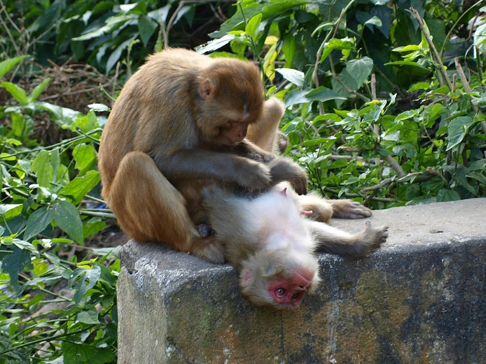 Opice v Káthmandú
