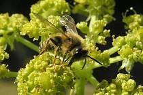 Včelka hledá něco dobrého k snědku
