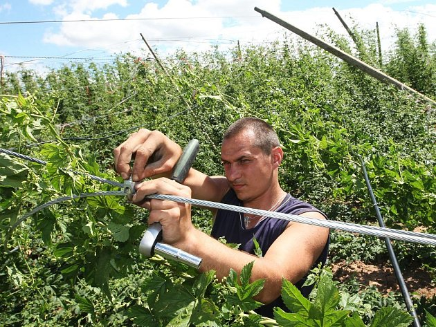 Dělníci odstraňují dráty a hadice závlahy ze spadlé chmelnice u Stekníku