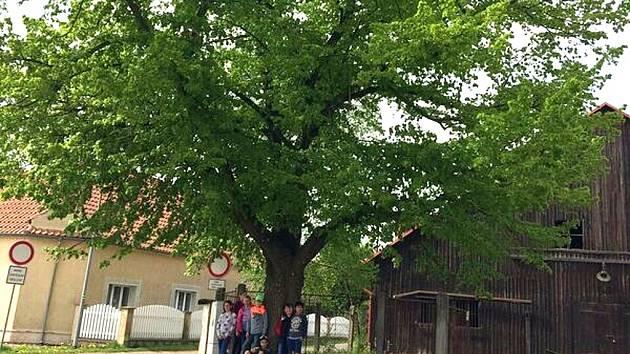Lípa svobody z Ročova se utká o titul Strom roku