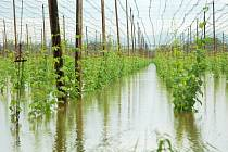 Úterý 4. června 2013. Zaplavená chmelnice mezi Oborou a Počedělicemi