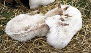 K vidění byly různé druhy ovcí a koz