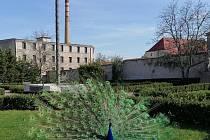 V žatecké Klášterní zahradě narazíte na několik pávů.