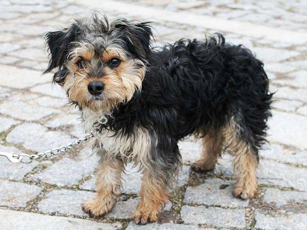 Kája je nejspíše kříženec jorkšíra, asi 1 rok starý pes, v kohoutku 33 cm.
