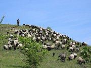 Jedno ze stád, které pomáhá přírodě přímo na ranském vrchu
