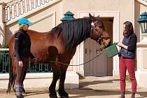 Na zámku vKrásném Dvoře mají nyní čtyři koně, dva teplokrevné a dva tažné plemene slezský norik. Ti vozí návštěvníky vkočáru po zámeckém parku.