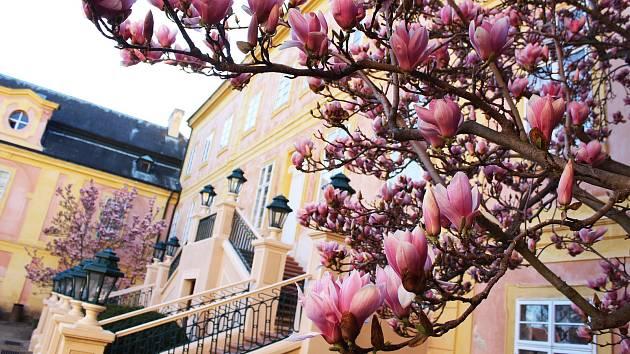 Na zámku Krásný Dvůr rozkvetly magnolie.
