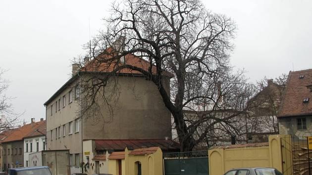 Strom v ulici Volyňských Čechů, který bude pokácen.